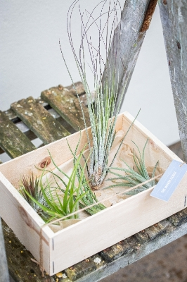Set of Air Plants
